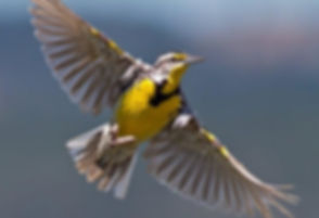 meadowlark flyingcrop.jpg