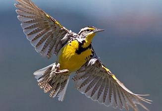 meadowlark flyingcrop.jpg