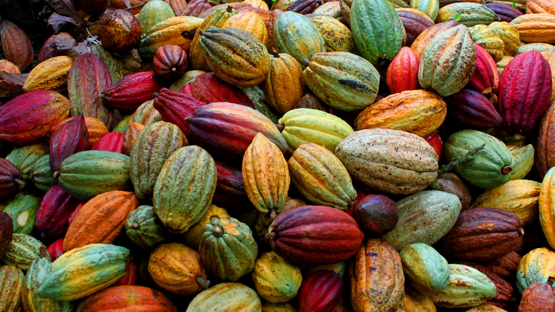 cocoa-cacao-criollo-venezuela