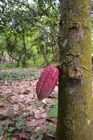 Venezuelan cacao, kakow