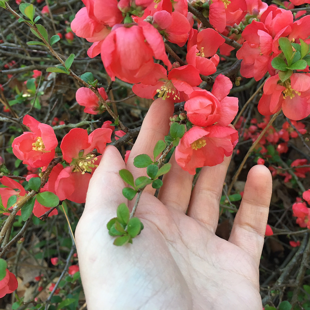 hand holding quince tree flowers