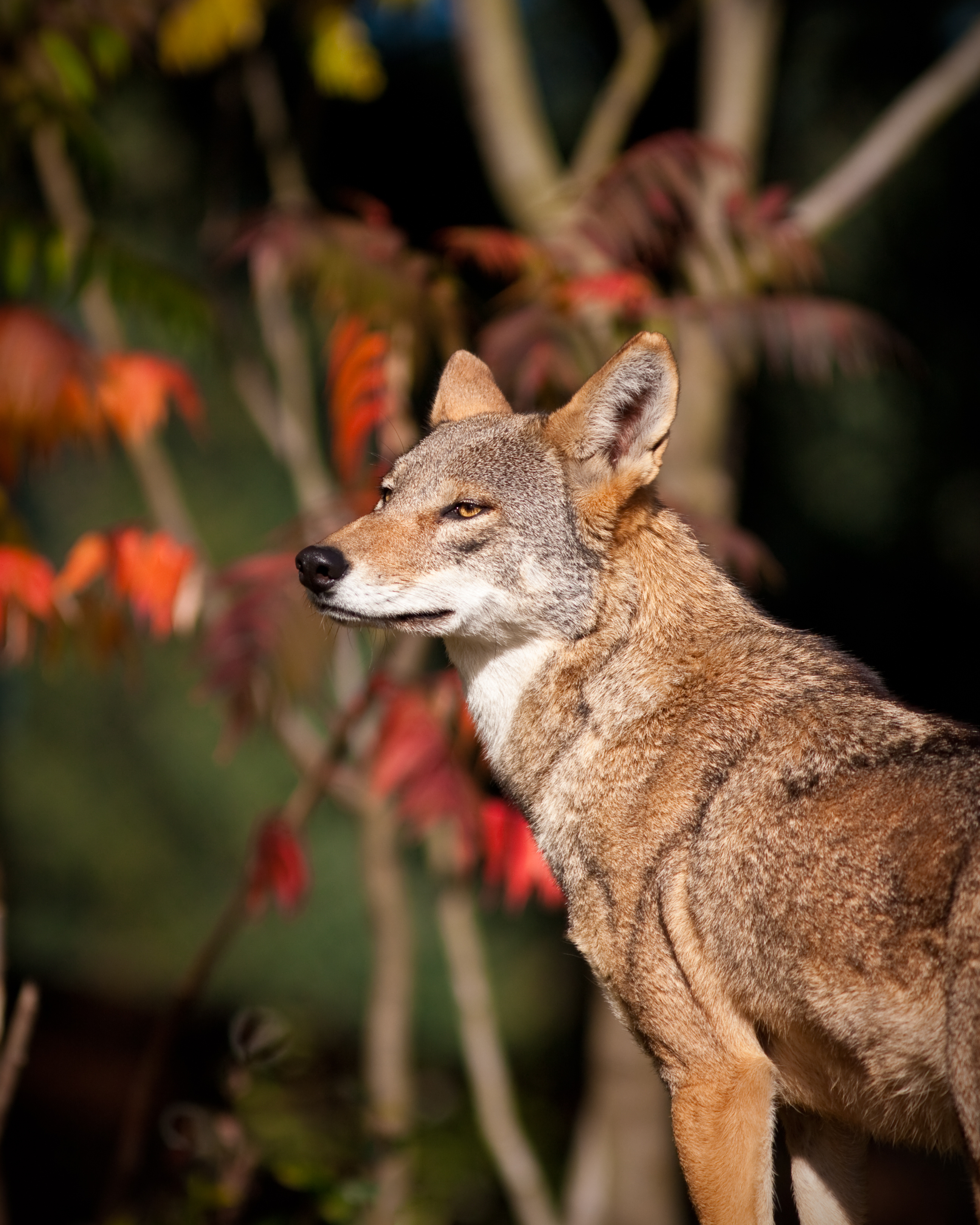 Critically Endangered Red Wolf