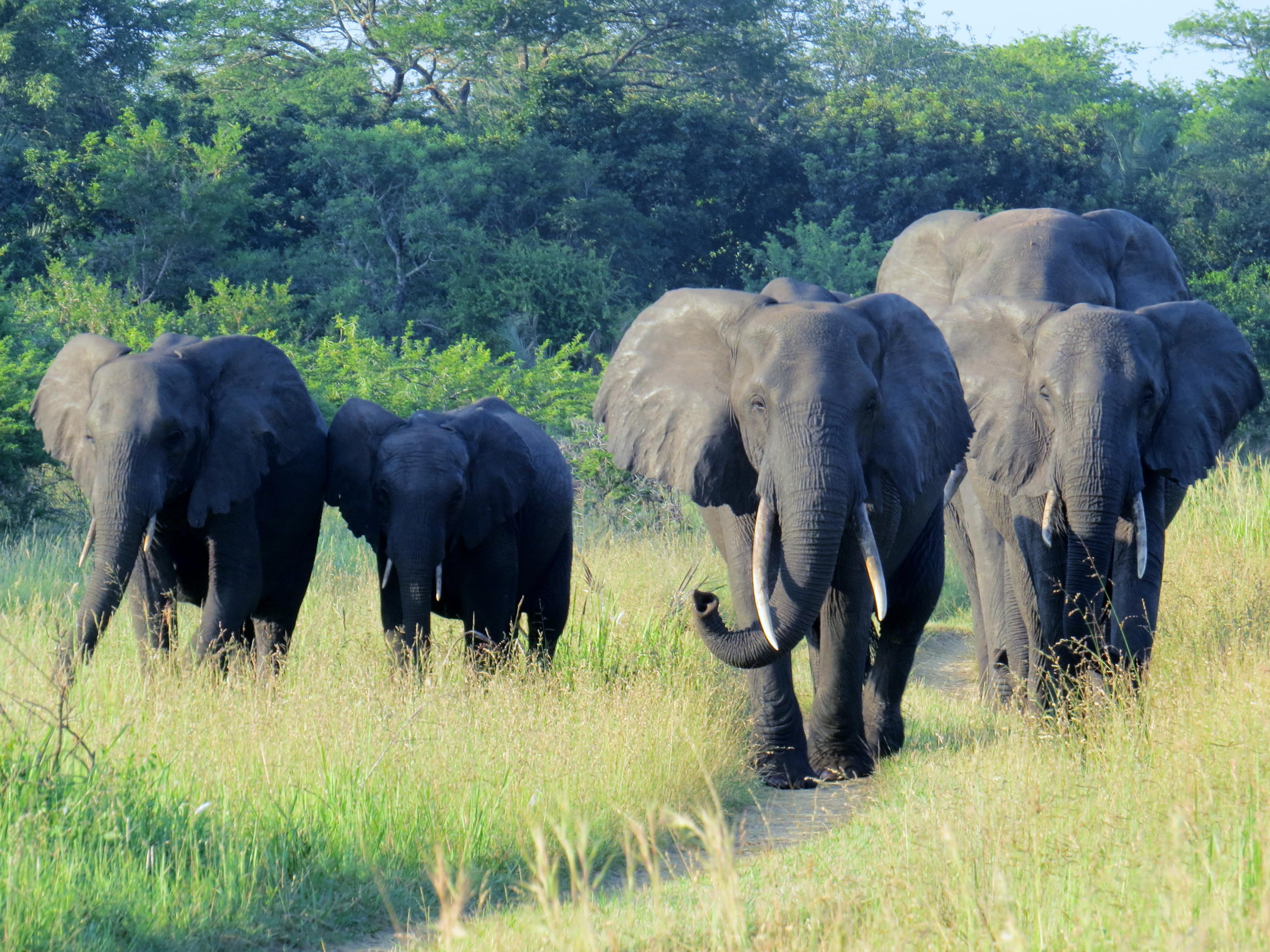 Breeding Herd of African Elephants
