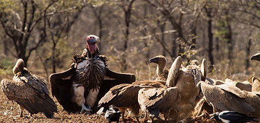 Lappet Faced and White Backed Vultures.j