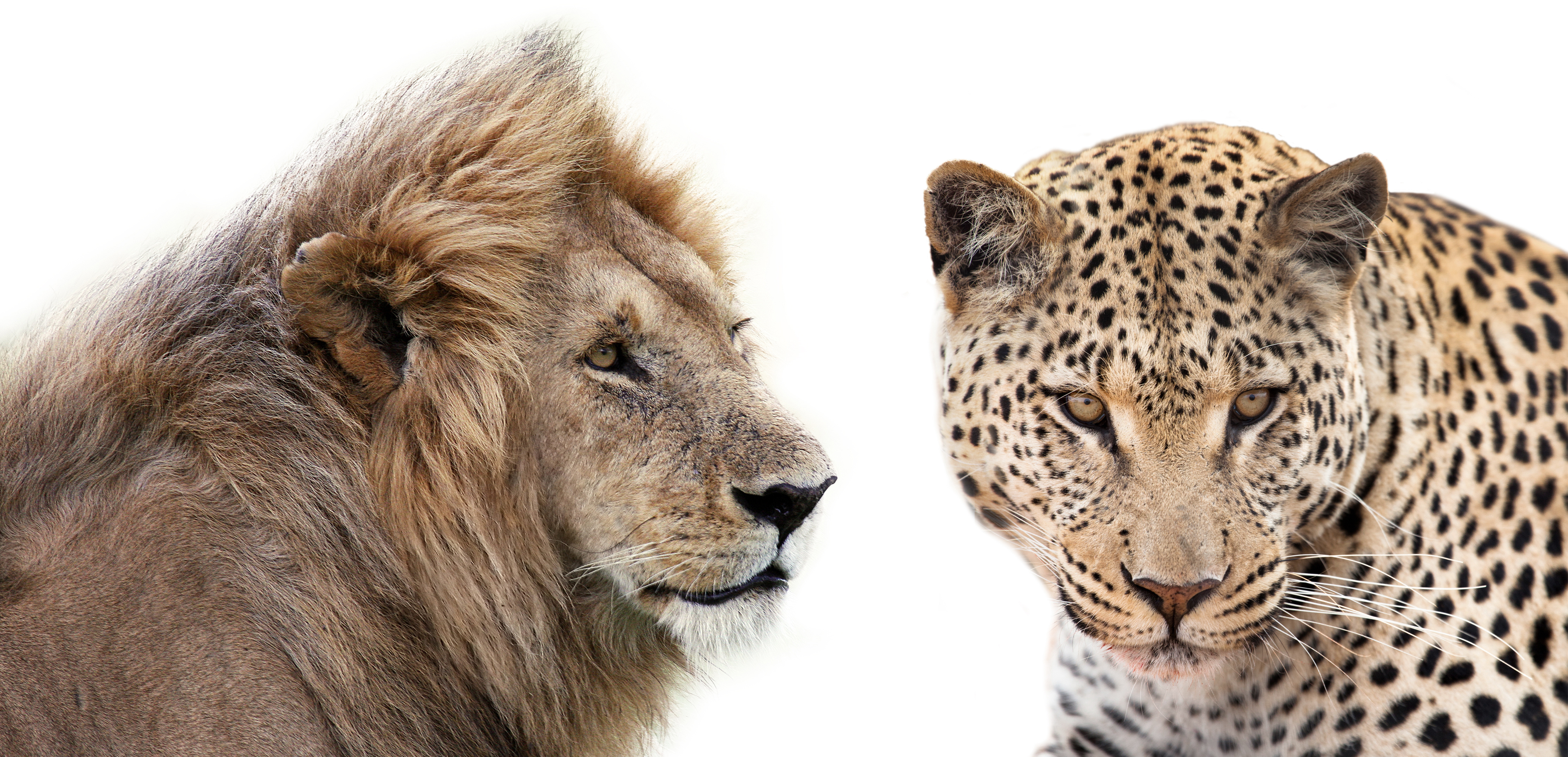 Lion and Leopard