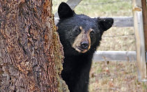 Many guests at Highview Cabins have seen black bears in Sherwood Forest Resort, Gatlinburg, and Cades Cove.