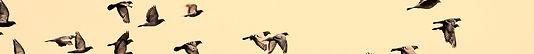 allontanamento volatili e piccioni