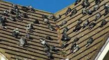 Come uccidere i piccioni...