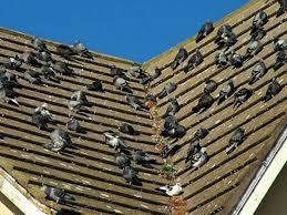 Come uccidere i piccioni.. forse..