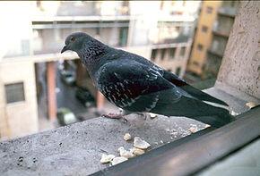 problema piccioni