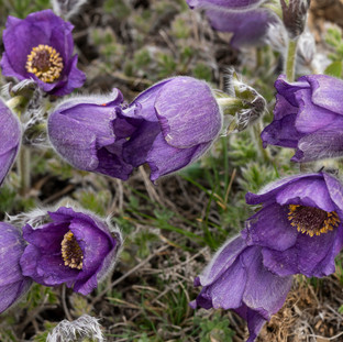Purple Pulsatilla, Turkey