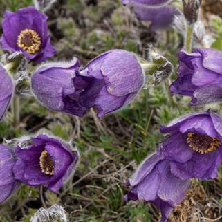 Purple Pulsatilla, Turkey