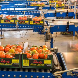 Tomato Grower, Netherlands
