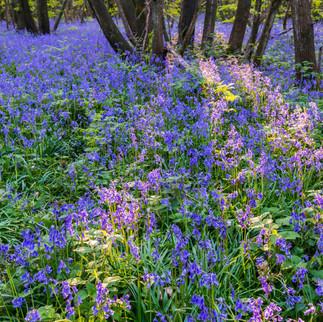 Bluebells, Kings Wood, United Kingdom