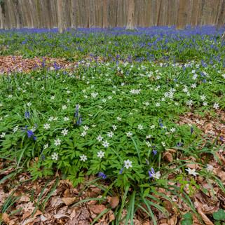 Haller Forest, Halle, Belgium