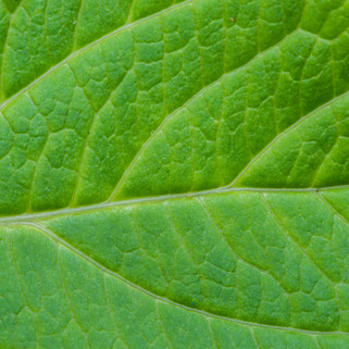 Leaf Pattern, The Netherlands