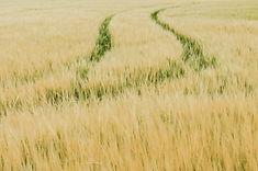 Grain Field United Kingdom