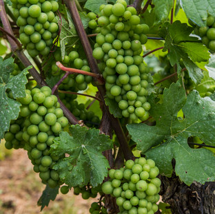 Vine with Grapes, Saale, Germany