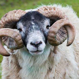 Sheep Ram, Isle of Skye, Scotland