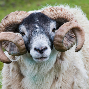 Sheep Ram, Isle of Skye, Scotland