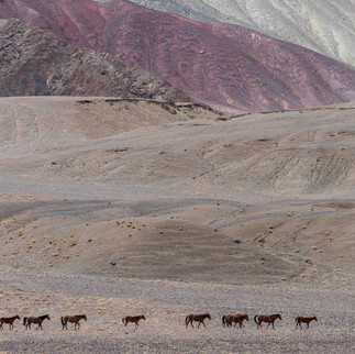 Horses in Whakan Valley, Tajikistan