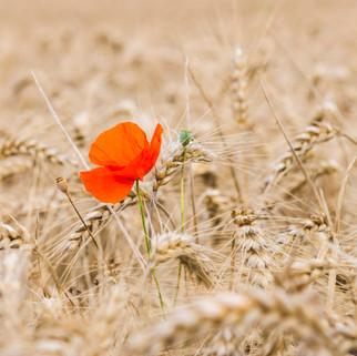 Poppy in Grain Field, Germany