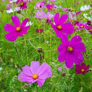Cosmea Flowers, France