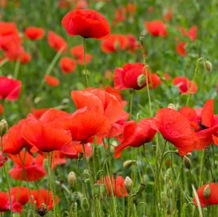 Poppies, Italy