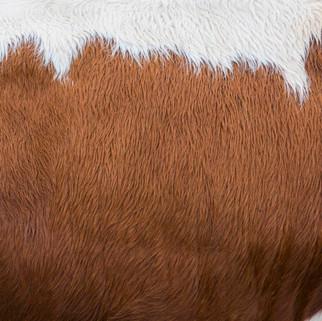 Fur of Cow, Austria