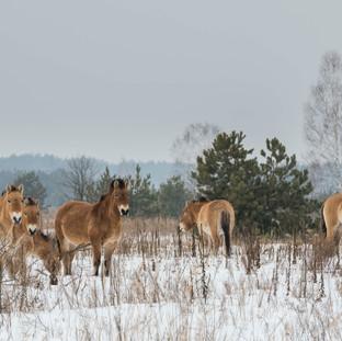 Przwalski Horses, Ukraine