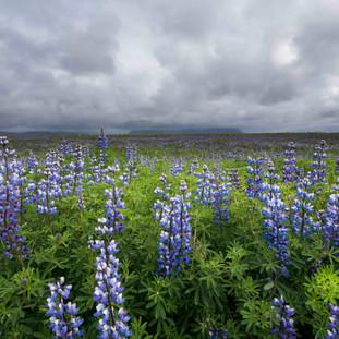 Lupine Field, Vik, Iceland