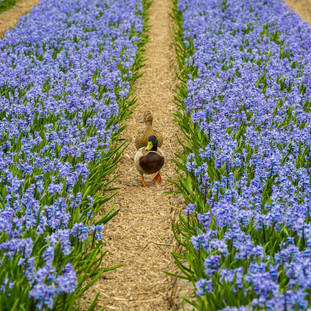Ducks in Bulbs Field, The Netherlands