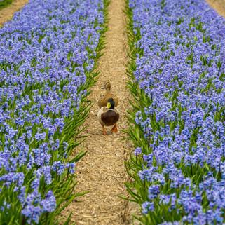 Ducks in Bulbs Field, The Netherlands