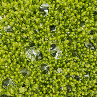 Moss and Water Drops, Iceland