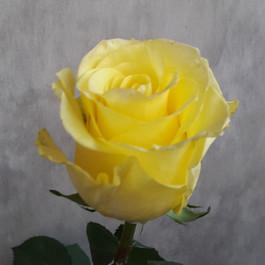 Yellow Merengue
