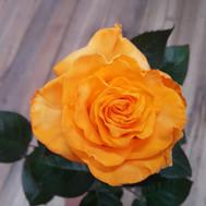 Tinted Orange