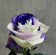 Tinted Purple/White