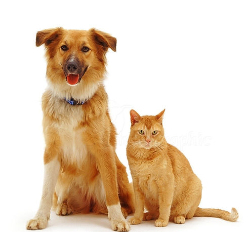 37560-Dog-and-ginger-cat-white-backgroun