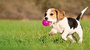 eukanuba-market-image-puppy-beagle.jpg