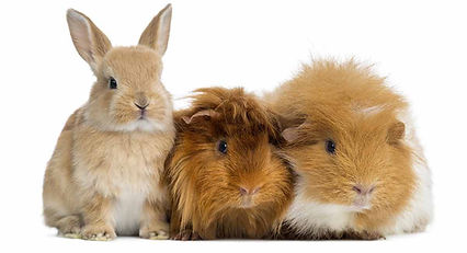 can-rabbits-and-guinea-pigs-live-togethe