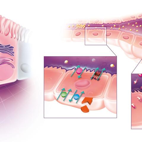 Mucovicidose et Protéine CFTR