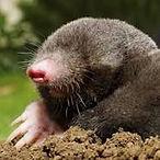 Désinsectisaton, Dératisation, Désinfection, Destruction guêpes Frelons Cafard Blattes Puces Punaise de lits taupes rats souris mulots
