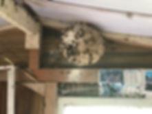 Destruction de nids de frelons asiatiques et frelons européens 35 Rennes Bruz Guichen Janzé Mordelles Redon Saint malo Dinard Fougeres Liffré Pleurtuit Combourg