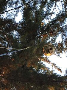 Enlevement de nid de frelons asiatiques dans le 35 , 44 et 56 - Rennes Bruz Guichen Crevin Poligné Bain de bretagne Maure Pipriac Janzé Chateaubriant Grand fougeray Nozay La Gacilly Mordelles etc...