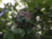 Destruction de nid de frelons asiatiques dans le 35 , 44 et 56 - Rennes Bruz Guichen Crevin Poligné Bain de bretagne Maure Pipriac Janzé Chateaubriant Grand fougeray Nozay La Gacilly Mordelles etc...