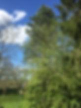 Enlevement de cocons de chenilles prcessionnaires à la perche telescopique jusqu'a 20 mètres - secteur Rennes - Guichen Bain de Bretagne, Pripriac, Redon, Nozay, Saint grégoire, etc...