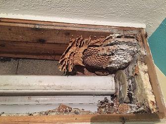 Entreprise de destruction et enlevement de nid de guepes et frelons dans le 35 pres de guichen, bruz, rennes, pipriac, chavagne, janzé etc