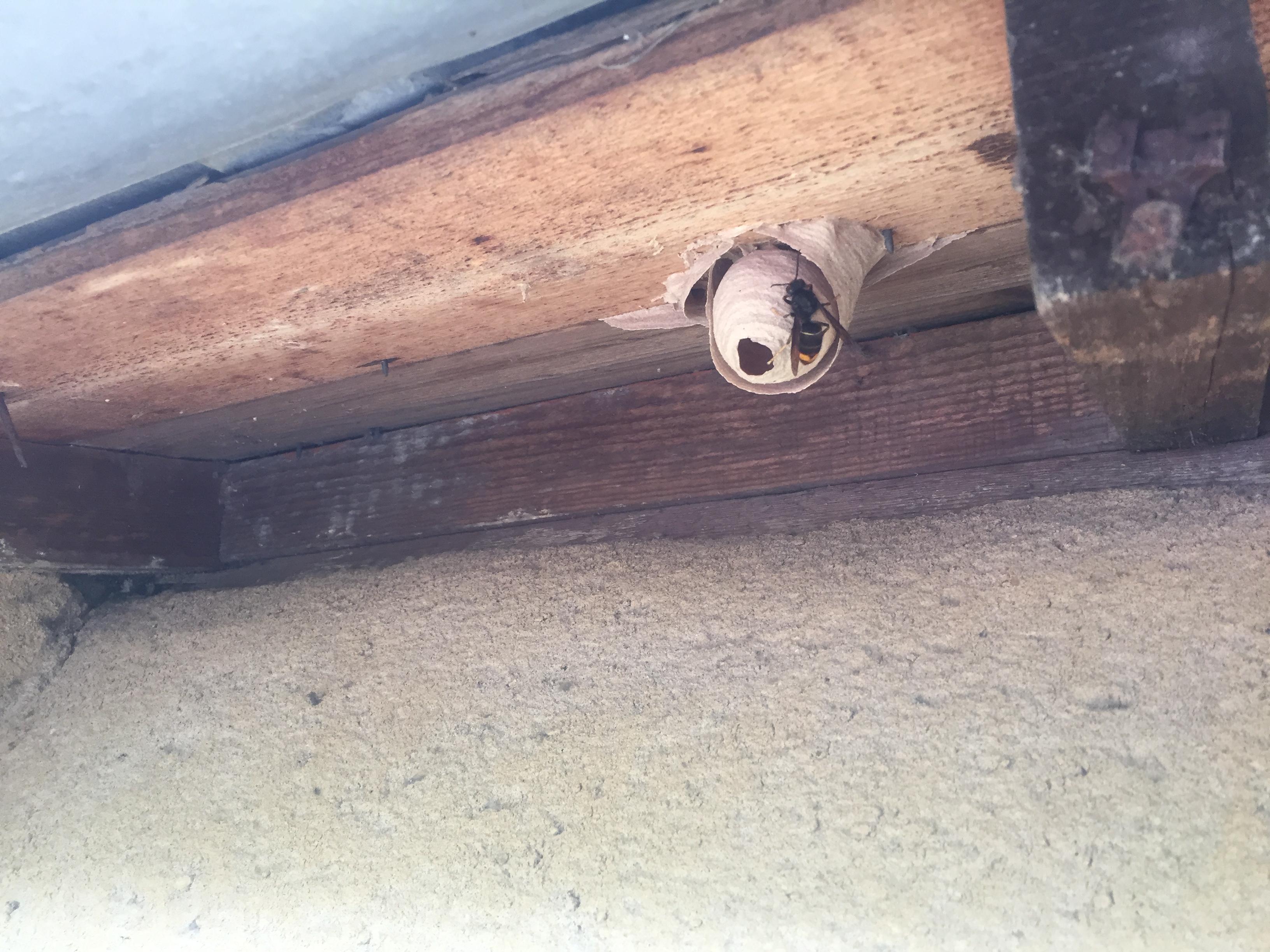 Petit nid de frelons asiatique 35