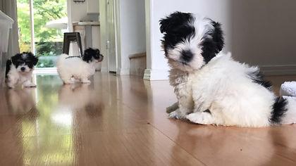 Havaton-puppies-havanese-coton-de-tulear