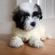 havaton-male-puppy-pride-and-joy-pups.jp